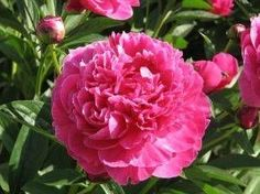 How to Propagate Peonies