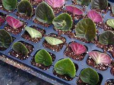Easy plant propagation: leaf cuttings