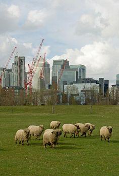 Canary Wharf Sheep by theaspiringphotographer, via Flickr, I love that sheep graze in London!