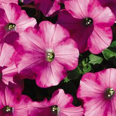Raspberry Blast petunias. Great performer for baskets, containers, and more!