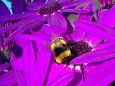 A bumblebee at work