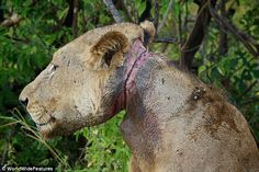 this boy needs a serious help ...  Doomed to die: The wire was twisted so tight that the lion was unable to eat