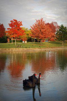 Black Swans | Ohio Northern University