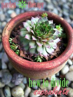 How to Divide Succulents #gardentherapy #garden
