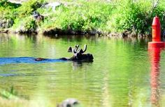 Moose cooling off in the channel near Point Park . . . www.stayingrandlake.com