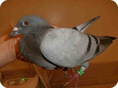 A1547223, a Rock Dove/Rock Pigeon in CA, needs a home now! See her at @Adopt-a-Pet.com doverock pigeon, rock doverock