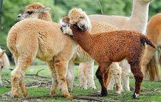 Image: Alpacas (© Rex Features)