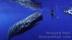 Sperm Whale Encounter. Video by Howard Hall.