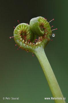 Sundew | giant staghorn fork leafed sundew family sundew family prague botanic ...