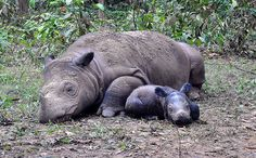 Photos Prove Nearly Extinct Sumatran Rhino Is Still Alive. They haven't been sighted for 26 years. There are less than 200 left in the world because of poachers and the logging industry destroying half of their habit. Shame on them!