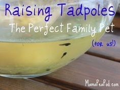 #MamaPeaPod: {Raising Tadpoles: The Perfect Family Pet!}