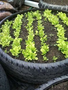 Recycled Tire Garden, I like how the top rim edge is cut off to make a wider opening.