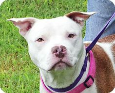 Patricia is a 1 1/2 year old female Pit Bull Terrier/Terrier mix in Searcy, AR. She is a sweet and gentle girl that enjoys being with people and likes her outside playtime with her toys. Patricia would like her new home to have a safe fenced yard to play in. There will be restrictions on her adoption due to her mixed Pit Bull breed. Contact The Humane Society of Searcy @ 501-268-3535 or hss@cablelynx.com.