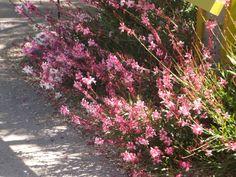 Gaura - Desert Botanical Garden