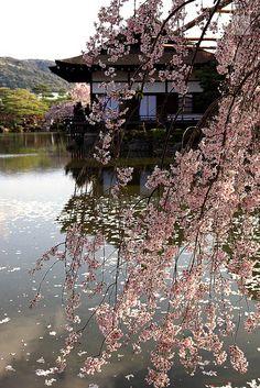 Spring Cherry blossom, Heian Shinto shrine, Kyoto, Japan