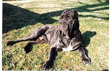 Neapolitan Mastiff - A.k.a. Italian Bulldog, Italian Mastiff, Mastino Napoletano, Italian Molosso, and Can'e presa - Italy - Guard and defender of family and property due to their protective instincts and their fearsome appearance.