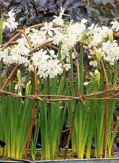 rustic twig support for paperwhites