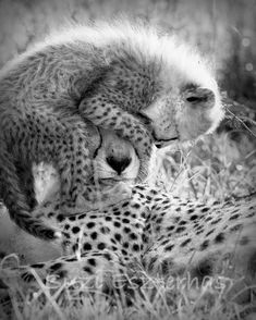 11 X 14 BABY CHEETAH With Mom Photo Black and White by WildBabies