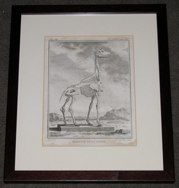 "giraffe skeleton french 1775 engraving 11.5 x 13.5"" $310"
