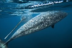 live ocean, anim, national geographic, beauti creatur, sea, narwhal whale, narwhals, ocean life, unicorns