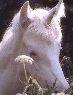 Robert Vauvra unicorn