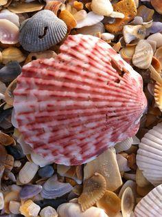 beautiful shells on our beautiful beach