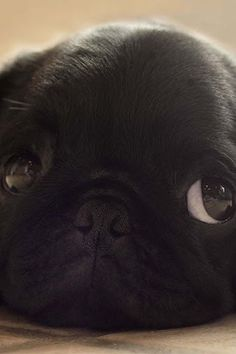 So cute!!! #pugs