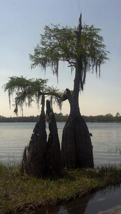 Cypress trees.....Florida