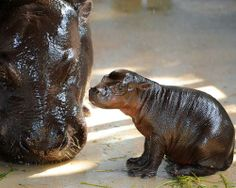 Pygmy hippos These animals look similar to their larger hippopotamus relatives, but they grow to only about two and a half feet tall and are...