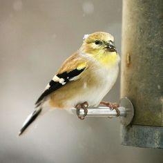 Finches colorful birds, thistl seed, attract songbird, yard, finch bird, winter garden