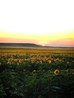 South Dakota (sunflower fields)