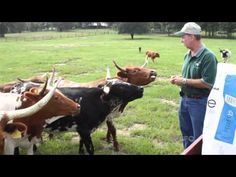 ONE Short: Mini Cows - YouTube