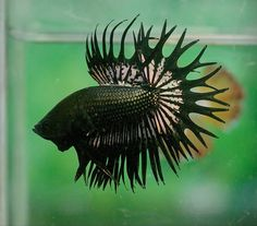 Black gold crowntail