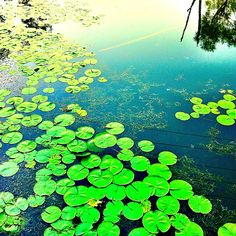 LillyPads. Sapsucker Woods, Ithaca, NY.
