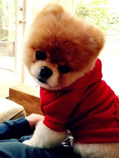 Say hello to Boo, Toy Pomeranian