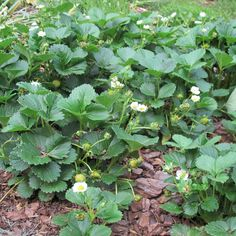 Dig this: @Helen Yoest uses strawberries as a groundcover.