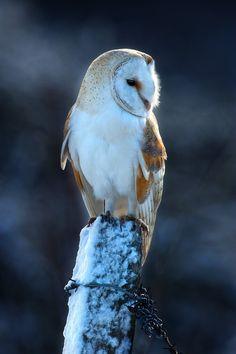 Barn Owl by Nigel  Pye