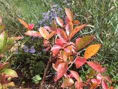 Native Shrubs for Fall Color and Wildlife Benefits