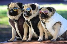 Too cool for you pugs.