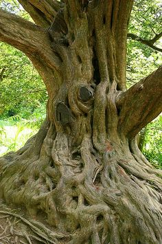 Beautiful Old Tree in Blarney Castle Gardens ~ Ireland