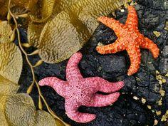 Queen Charlotte Island Starfish.