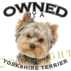 Yorkies yorkie, yorkshir terrier, thing yorki, yorkshire terriers, little dogs, yorki pictur