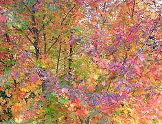 Monet. claud monet, claude monet, beauti leav, colors, color leav, inspir, paint, favorit artist, art monet