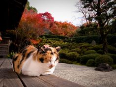 寺院の三毛猫(京都) Temple Garden Cat in  Kyoto, Japan