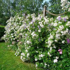 The garden of Helen Fredholm | Mias Landliv: Helen's garden