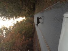 Baby deer crossing the road at Hickory Knob State Park in SC November, 2012