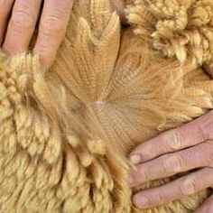 we breed for fineness, crimp and density. this is a beautiful fleece still on the alpaca...