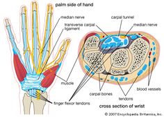 Wrist and hands  Repinned by  SOS Inc. Resources  http://pinterest.com/sostherapy.