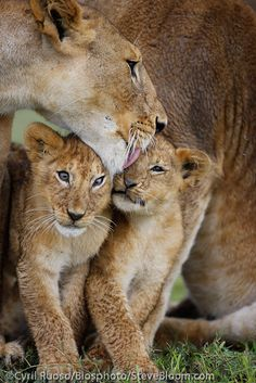 African Lioness and cubs,  N'gorongoro Crater, Tanzania