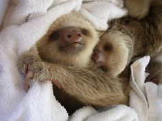 Baby sloth taking a nap.